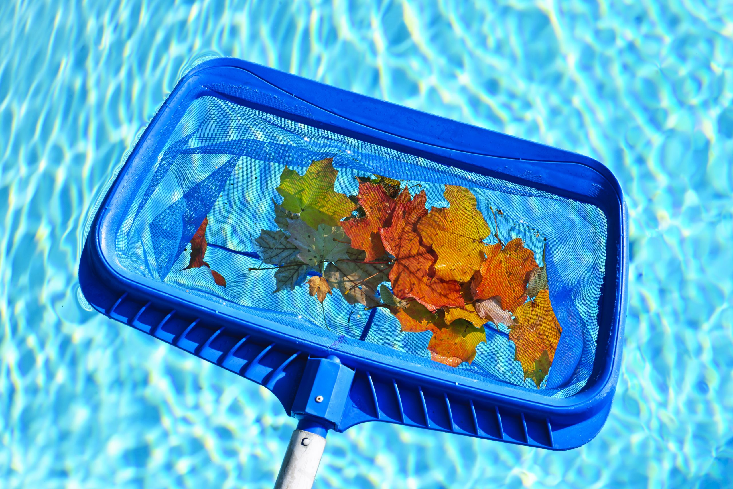 scooping autumn leaves out of pool